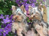 Собаки, щенята Бассет, ціна 2000 Грн., Фото