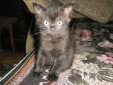 Кошки, котята Британская длинношёрстная, цена 800 Грн., Фото