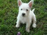 Собаки, щенята Вестхайленд уайт тер'єр, ціна 8000 Грн., Фото