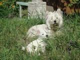 Собаки, щенки Вестхайленд уайт терьер, цена 8000 Грн., Фото