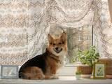 Собаки, щенята Вельш коргі пемброк, ціна 4500 Грн., Фото