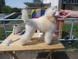 Собаки, щенки Той-пудель, цена 3000 Грн., Фото