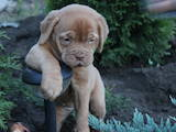 Собаки, щенята Бордоський дог, ціна 100 Грн., Фото