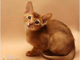 Кішки, кошенята Абіссінська, ціна 4000 Грн., Фото