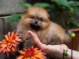 Собаки, щенки Малый шпиц, цена 10000 Грн., Фото