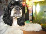 Собаки, щенята Американський коккер, ціна 6000 Грн., Фото