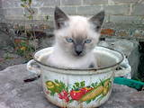Кошки, котята Сиамская, цена 150 Грн., Фото