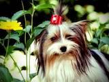 Собаки, щенки Спаривание, цена 4000 Грн., Фото