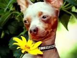 Собаки, щенки Спаривание, цена 1600 Грн., Фото