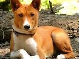 Собаки, щенята Басенджі, ціна 2000 Грн., Фото