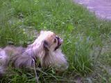 Собаки, щенята Спаровування, ціна 300 Грн., Фото