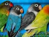 Папуги й птахи Папуги, ціна 300 Грн., Фото