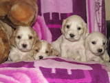 Собаки, щенки Американский коккер, цена 950 Грн., Фото