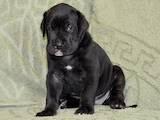 Собаки, щенята Німецький дог, ціна 5500 Грн., Фото