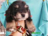 Собаки, щенята Кольорова болонка, ціна 600 Грн., Фото