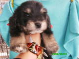 Собаки, щенки Цветная болонка, цена 600 Грн., Фото