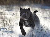 Собаки, щенята Кане Корсо, Фото