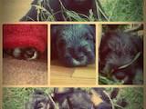 Собаки, щенки Миттельшнауцер, цена 2800 Грн., Фото