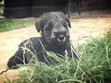 Собаки, щенята Міттельшнауцер, ціна 2800 Грн., Фото