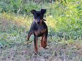 Собаки, щенята Пінчер, ціна 4500 Грн., Фото