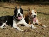 Собаки, щенята Стаффордширський бультер'єр, ціна 500 Грн., Фото
