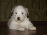 Собаки, щенки Южнорусская овчарка, цена 4000 Грн., Фото