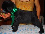 Собаки, щенята Різеншнауцер, ціна 3500 Грн., Фото