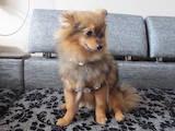 Собаки, щенки Малый шпиц, цена 1000 Грн., Фото