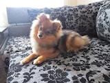 Собаки, щенята Малий шпіц, ціна 1000 Грн., Фото