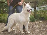 Собаки, щенята Біла Швейцарська вівчарка, ціна 3200 Грн., Фото