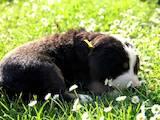 Собаки, щенки Большой Швейцарский зенненхунд, цена 2500 Грн., Фото
