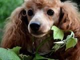 Собаки, щенята Карликовий пудель, Фото