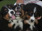Собаки, щенки Бернская горная собака, цена 4000 Грн., Фото