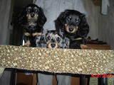 Собаки, щенята Довгошерста мініатюрна такса, ціна 4000 Грн., Фото