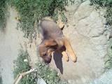 Собаки, щенки Русская борзая, цена 800 Грн., Фото