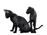 Кошки, котята Гавана, цена 2600 Грн., Фото