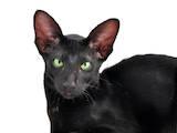 Кішки, кошенята Орієнтальна, ціна 2600 Грн., Фото