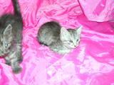 Кішки, кошенята Єгипетська мау, ціна 500 Грн., Фото
