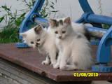 Кошки, котята Сибирская, цена 0.10 Грн., Фото