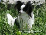 Собаки, щенята Папільон, ціна 3500 Грн., Фото