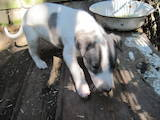 Собаки, щенята Грейхаунд, ціна 500 Грн., Фото