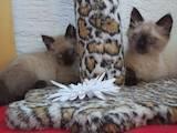 Кішки, кошенята Балінез, ціна 450 Грн., Фото