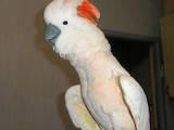 Папуги й птахи Папуги, ціна 2700 Грн., Фото