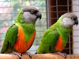 Попугаи и птицы Попугаи, цена 3200 Грн., Фото