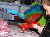 Папуги й птахи Папуги, ціна 2400 Грн., Фото