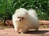 Собаки, щенки Малый шпиц, цена 900 Грн., Фото