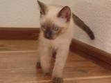 Кішки, кошенята Тайська, ціна 800 Грн., Фото