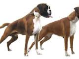 Собаки, щенки Боксер, цена 4000 Грн., Фото