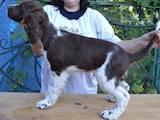 Собаки, щенята Англійська Спрінгер спаніель, ціна 4200 Грн., Фото