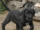 Собаки, щенята Німецький дог, ціна 6000 Грн., Фото